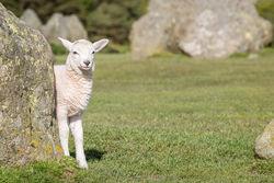 Sheep hiding behind rock